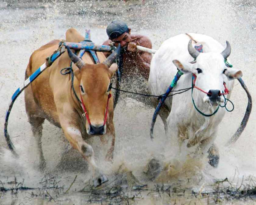 Buffalo race competitions in Lombok